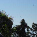 Le vol matinal des martinets
